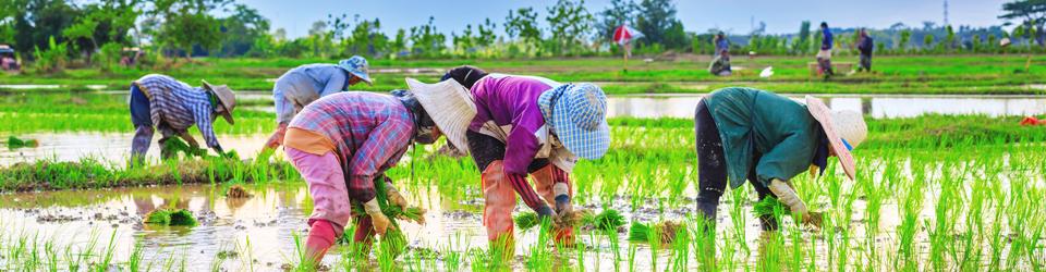 thai-farmer-3